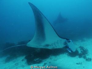 Manta cleaning station. West Dampier Strait. Raja Ampat. ... by Morgan Ashton 
